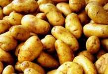 Пуговичная гниль картофеля