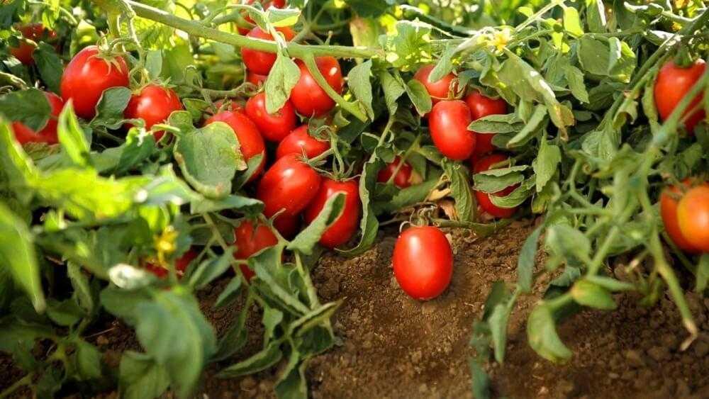 Инфекционные болезни томата