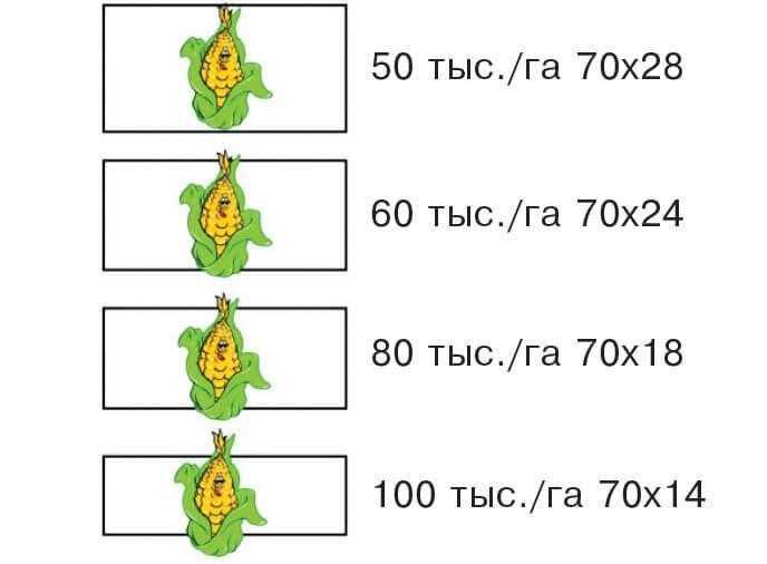 Сужение зоны питания растения кукурузы при увеличении густоты в ряду фото