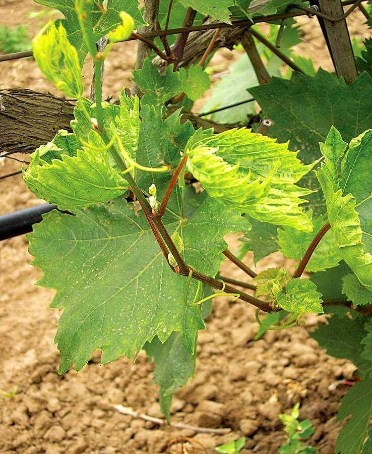 Повреждение листьев винограда глифосатом
