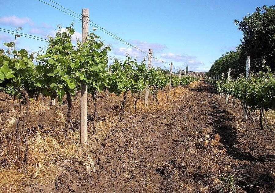 Применение гербицидов на виноградниках