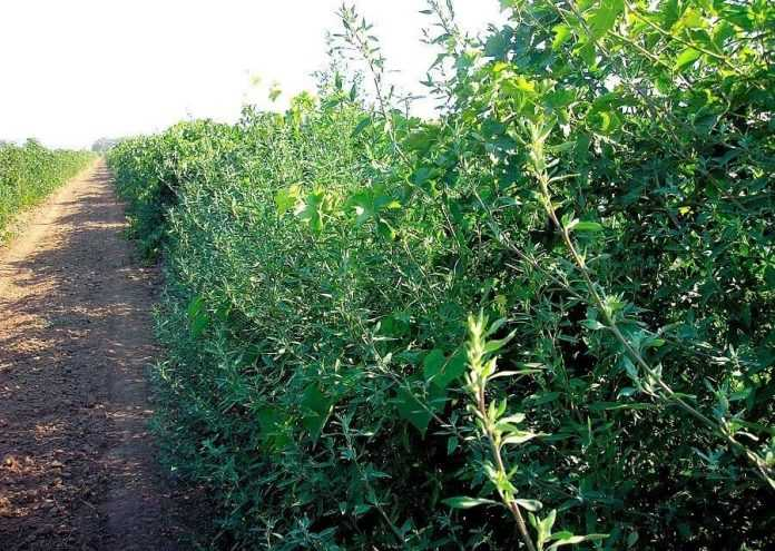 Сорняки на виноградниках