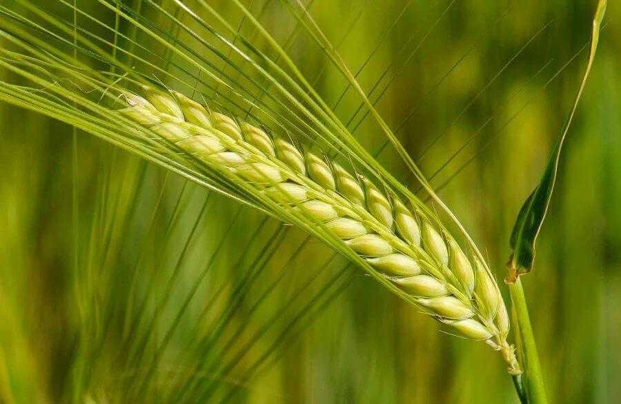 Зерно ячменю