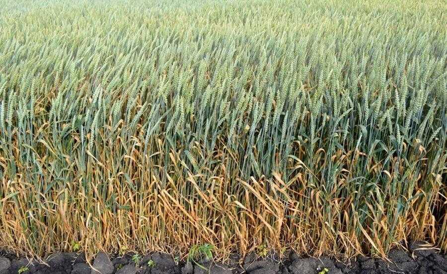 Густота стояння рослин пшениці
