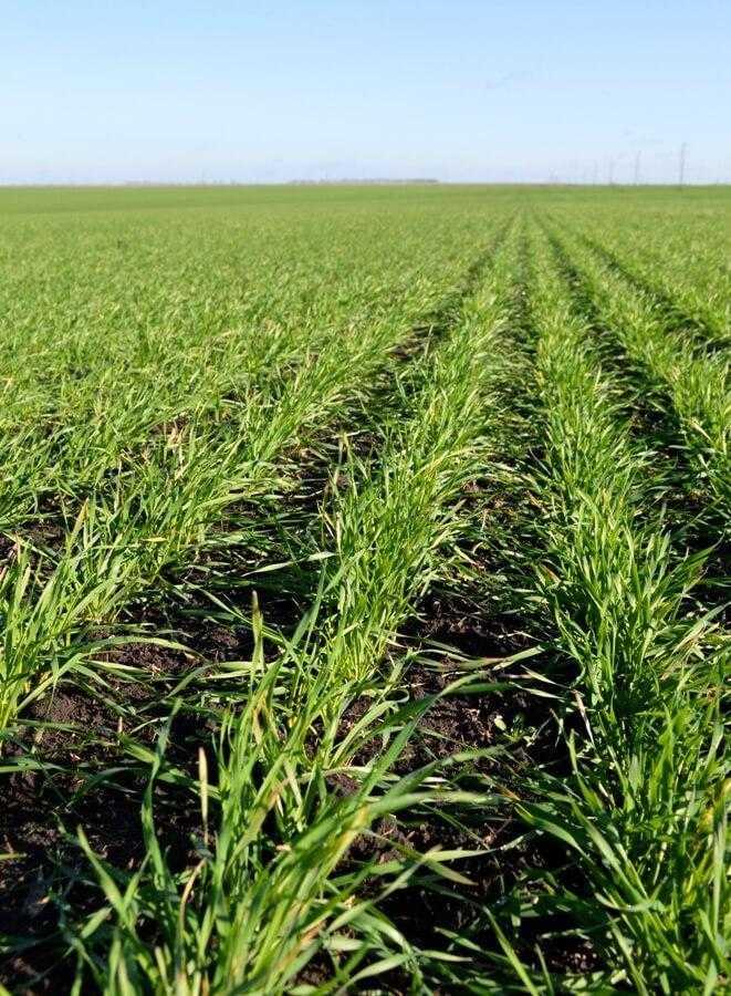 Кущення пшениці