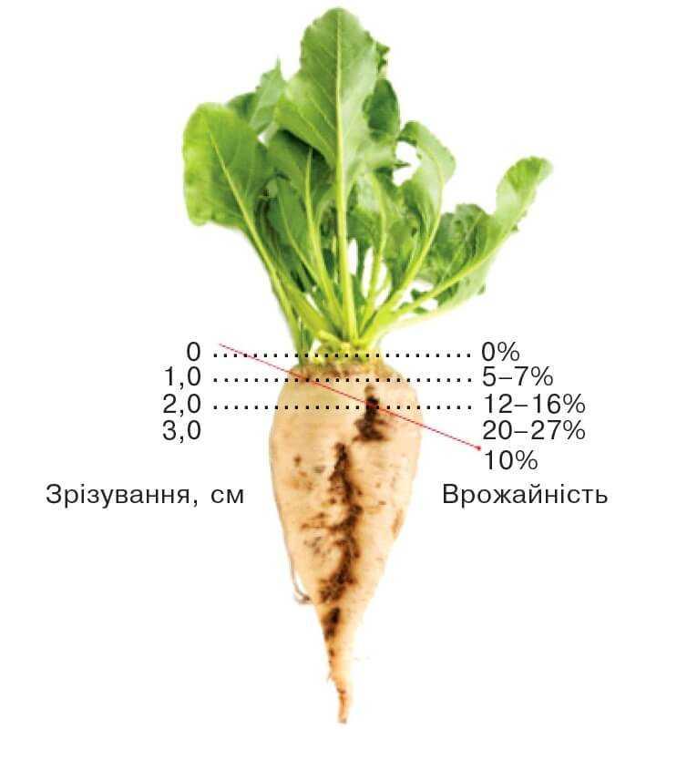 Втрати врожайності цукрових буряків при неправильному зрізуванні бадилля