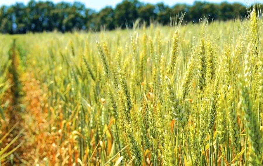 Урожайність зернових культур