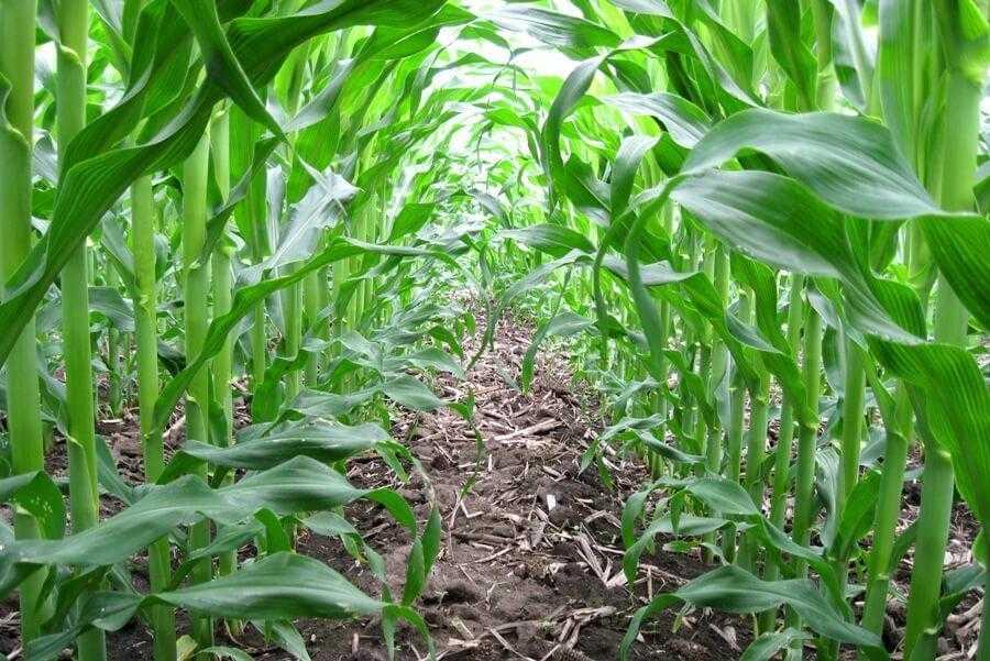 Захист кукурудзи від бур'янів