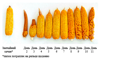 Фото 14. Запилення кукурудзи. Джерело: Agronomy Sciences Research Summary 2017, North American Edition