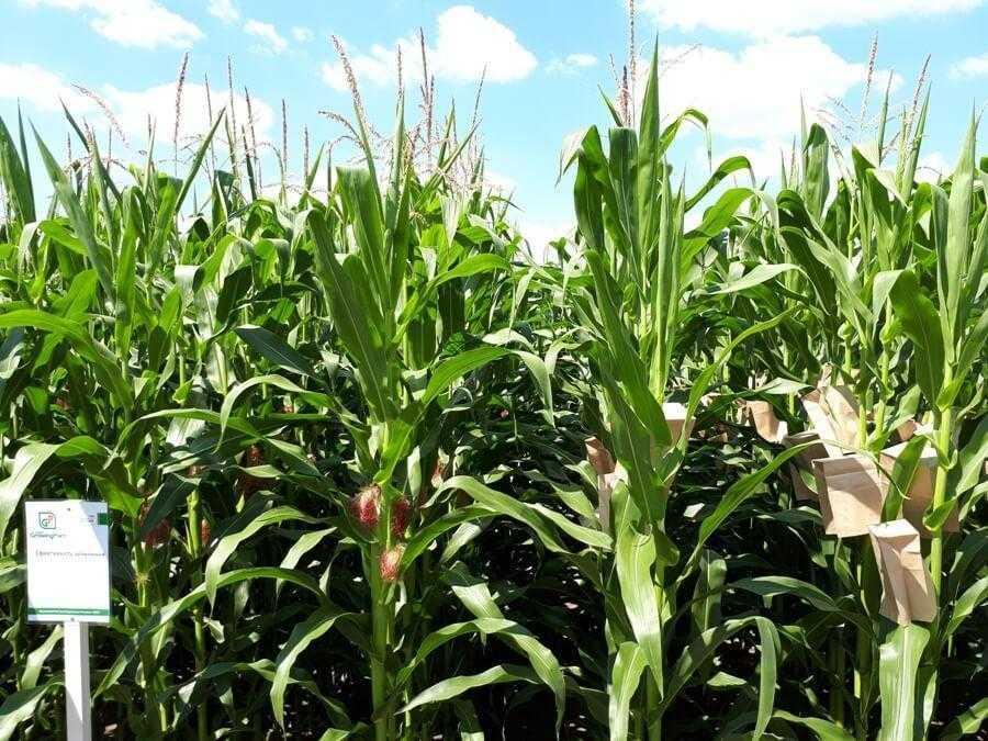 Фото 15. Синхронність цвітіння кукурудзи