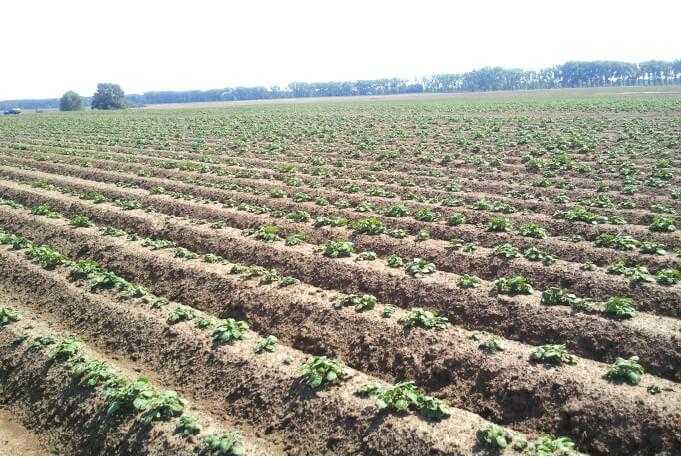 Повні сходи картоплі