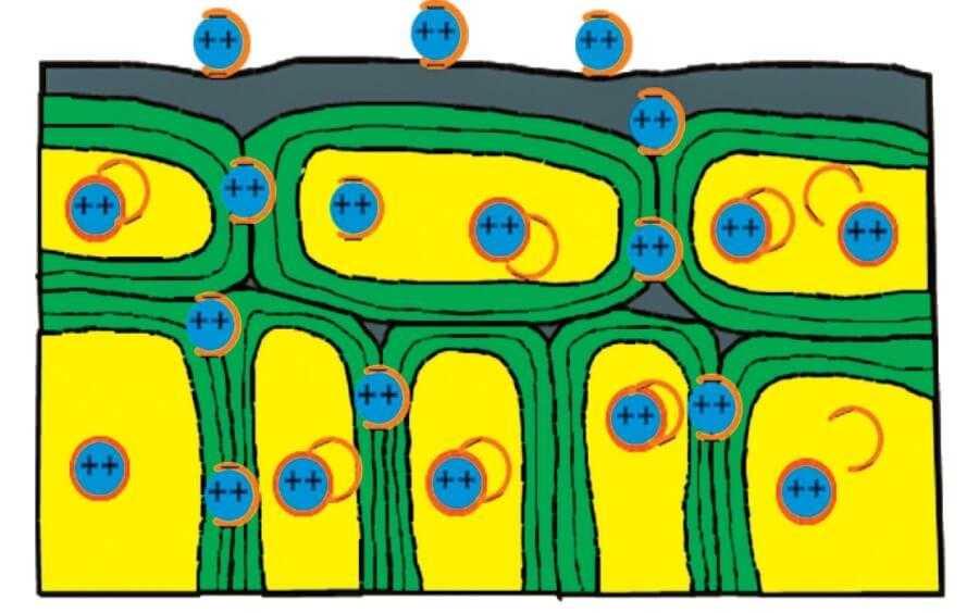 Рис. 2. Мікродобриво хелатизоване. Мікроелементи швидко надходять у життєво важливі органи рослин