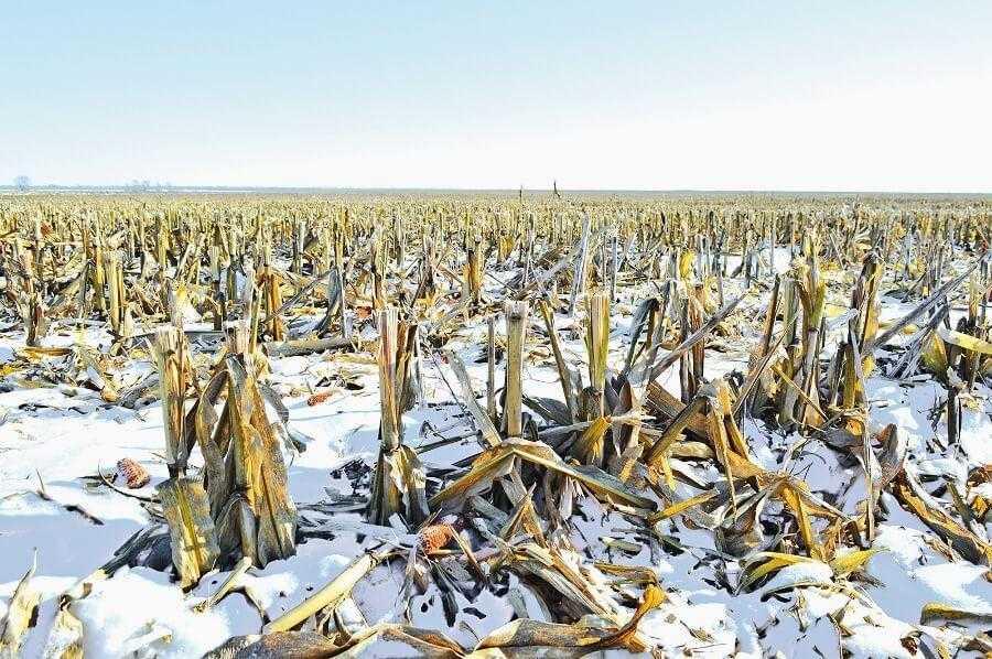 Вирощування кукурудзи