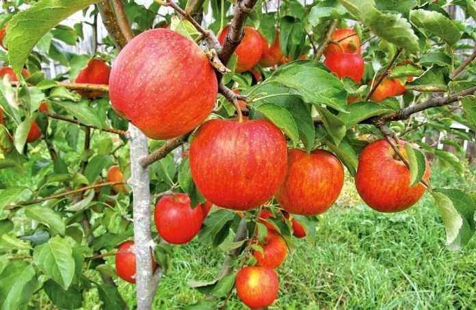 Вирощування яблук