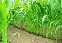 Кукуруза на капельном поливе