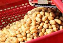Как хранить семенной картофель