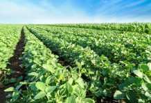 Выращивание традиционной сои