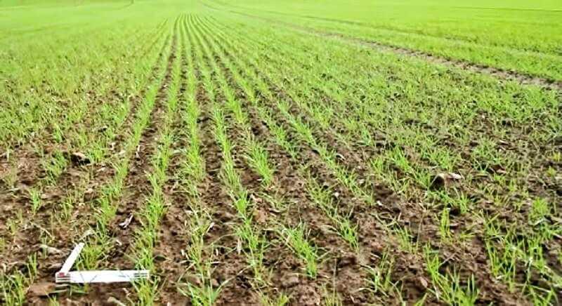 Рівень розвитку рослин пшениці 9 листопада