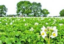Сортова агротехніка картоплі