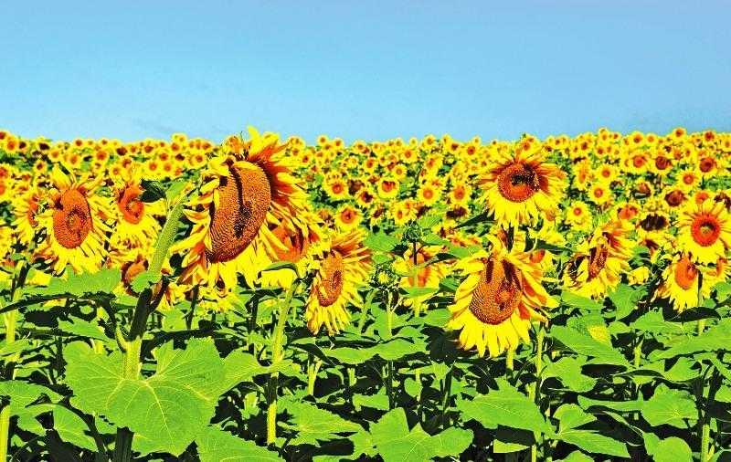Для успешного выращивания подсолнечника и получения высокого урожая следует обеспечить растениям необходимое содержание питательных веществ в почве. Для этого можно применять также органические удобрения, правильно используя систему защиты от болезней