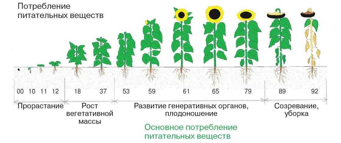 Подсолнечник имеет мощную, глубокую корневую систему и в наибольшей степени нуждается в питательных веществах в поздние периоды развития. До 75% питательных веществ потребляется в период плодоношения