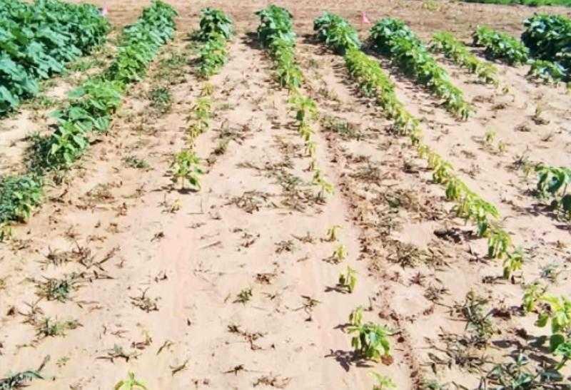Наглядный пример того, как подсолнечник реагирует на крайне низкий уровень рН почвы