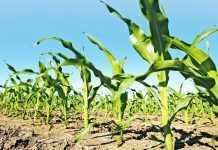 Підвищення посухостійкості гібридів кукурудзи