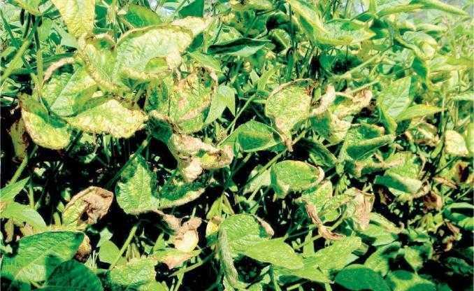Симптоми прояву фузаріозу на дорослих рослинах