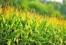 Вирощування кукурудзи на краплинному зрошенні