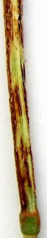 Лінійна, або стеблова іржа