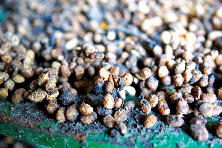 Рис. 2. Если не чистить зернометатели и другое оборудование, используемое при хранении сои, это приведет к накапливанию остатков семян и их загниванию