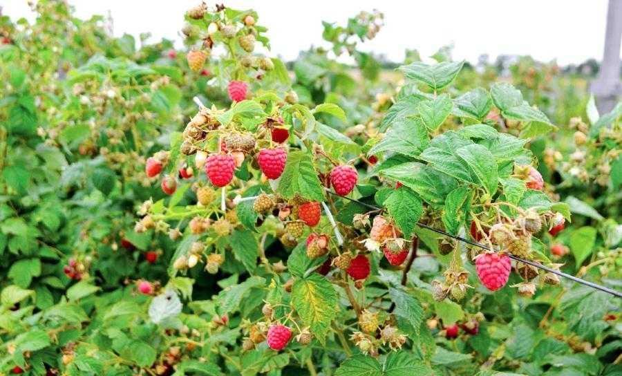 Вирощування органічної малини