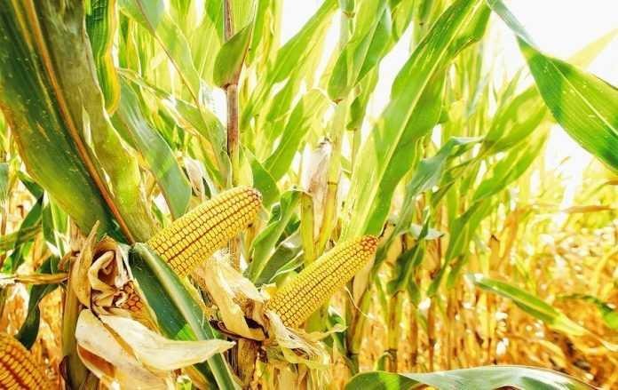 Підвищення прибутковості вирощування кукурудзи