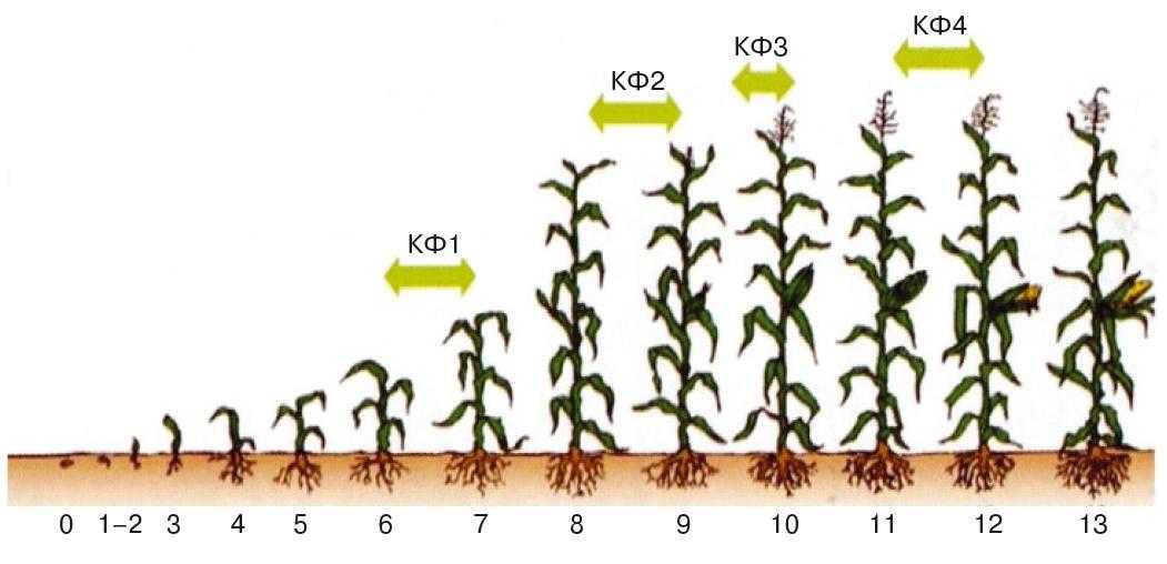 Рис. 2. Критичні фази розвитку рослин кукурудзи