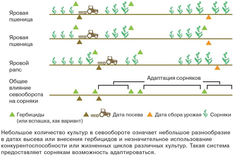 Рис. 3. Севооборот с небольшим разнообразием культур позволяет сорнякам адаптироваться