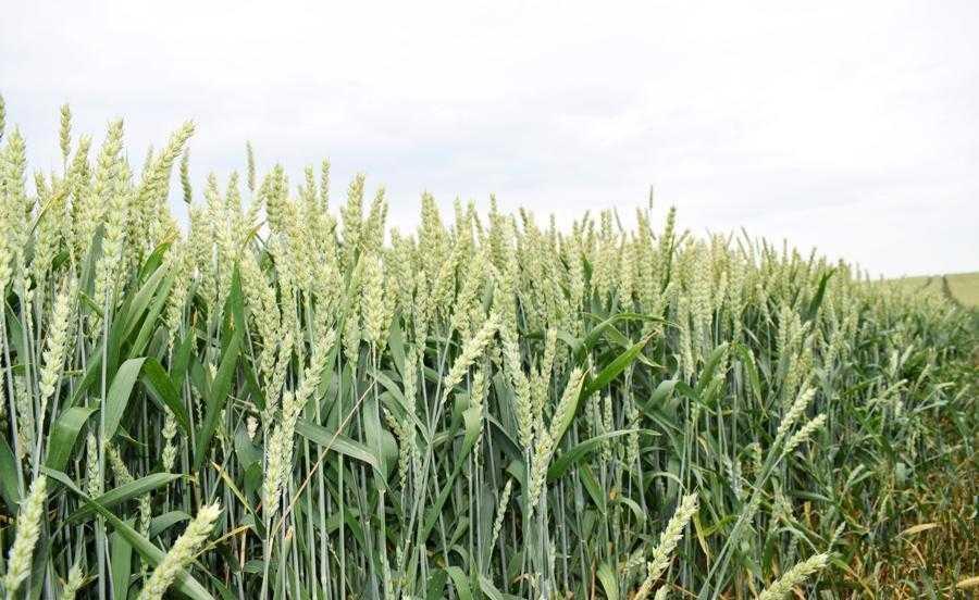 Найбільші площі в господарстві займає озима пшениця. Саме з цієї культури 10 років тому розпочав свою діяльність молодий фермер