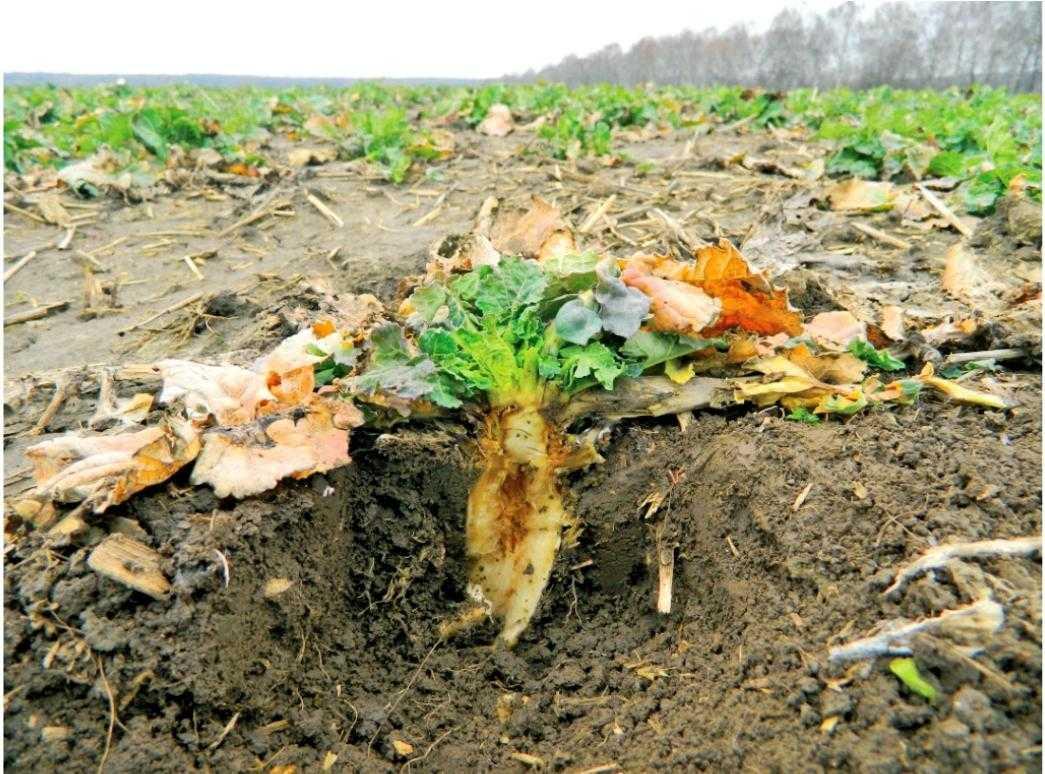 Рис. 9. Побуріння тканин кореня після перезимівлі внаслідок нестачі бору з осені