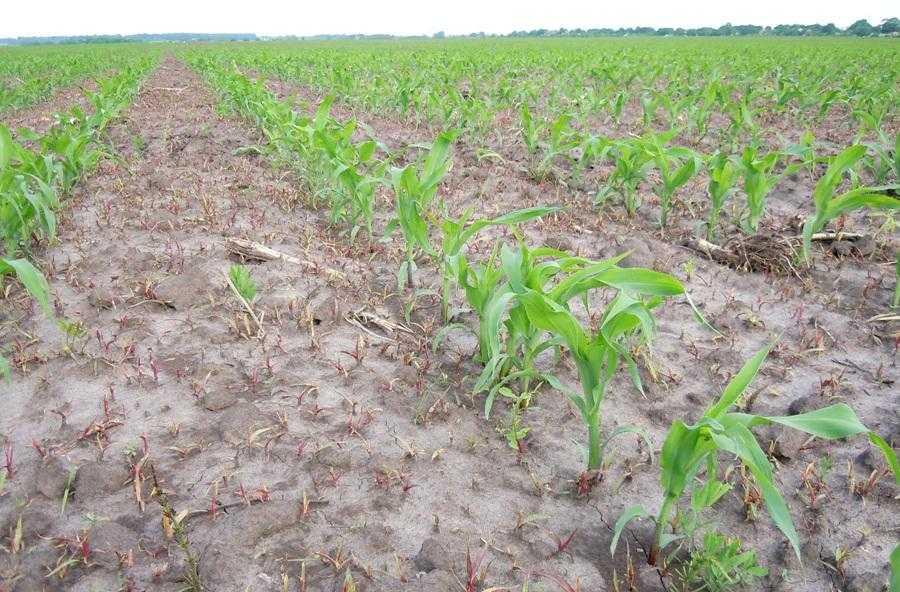 Бур'яни в посівах кукурудзи