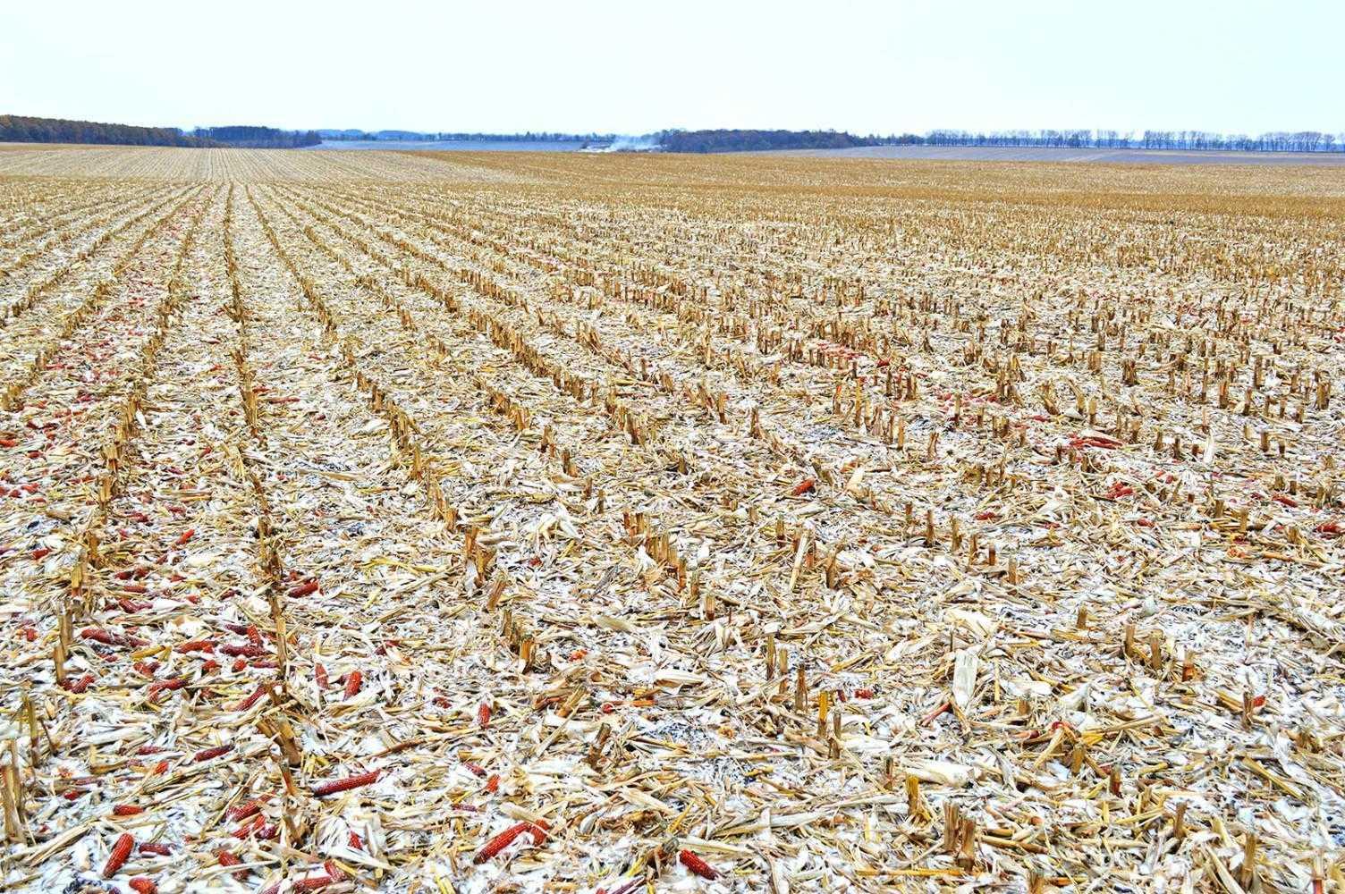 Необработанный агрофон после ячменя и кукурузы по степени аккумуляции зимних осадков почти ежегодно имел преимущество перед зяблевой вспашкой