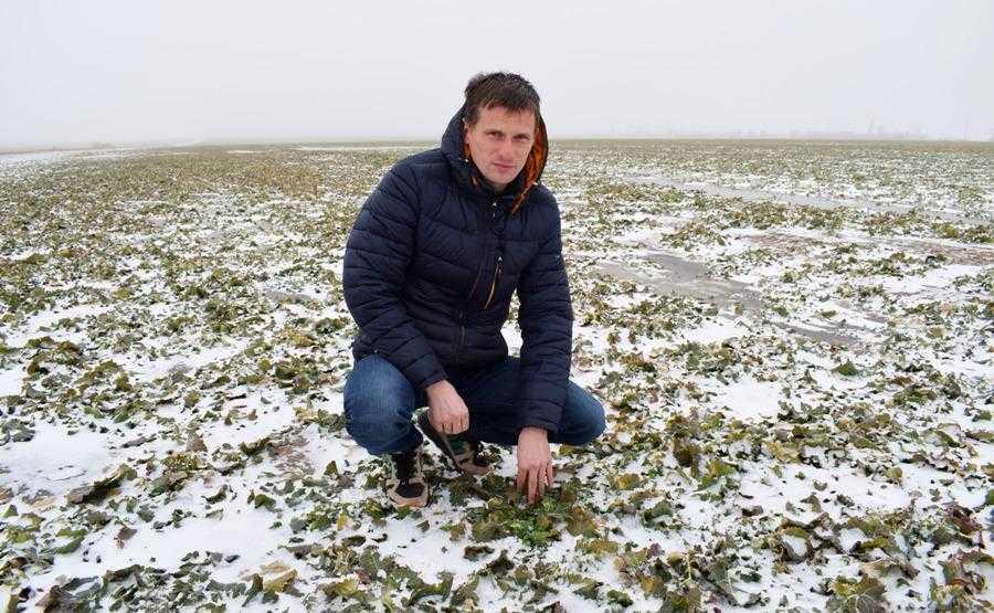 Основна проблема при вирощуванні озимого ріпаку на півдні України полягає не стільки у вимерзанні цієї культури, скільки в отриманні сходів внаслідок нестачі вологи