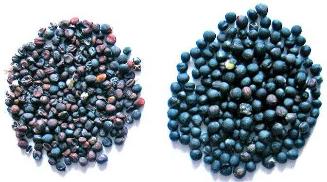 Насіння ріпаку зліва – уражене альтернаріозом, справа – здорове