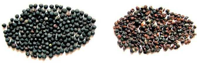 Насіння ріпаку: зліва – здорове; справа – уражене сірою гниллю