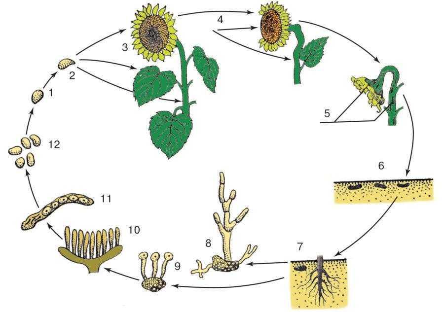 Рис. 1. Цикл развития возбудителя склеротиниоза подсолнечника – Sclerotinia sclerotiorum (белая гниль) по Shkorich D.: 1 – сумкоспора; 2 – прорастание сумкоспоры; 3 – заражение листа, стебля и корзинки; 4 – растение поражено склеротиниозом; 5 – склероции в стебле и корзинке; 6 – созревание склероциев в почве; 7 – прорастание склероциев и заражение растений мицелием корневой системы; 8 – склероций, прорастание склероция, развитие в мицелий; 9 – формирование апотеций; 10 – апотеций с сумками; 11 – сумка с сумкоспорами; 12 – сумкоспоры