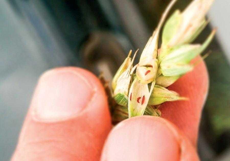 Личинки пшеничного трипса у колосi