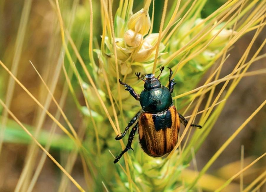 Iмаго хлiбного жука-кузьки на колосi пшеницi