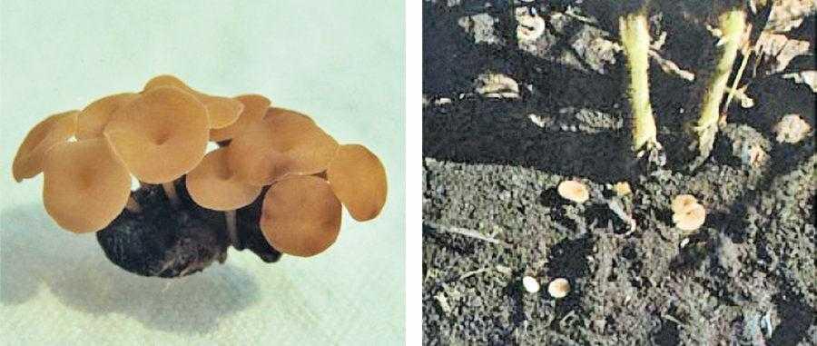 Рис. 5. Апотеции. Слева – апотеции, растущие из склероции, справа – апотеции на сое (В.D. Nelson)