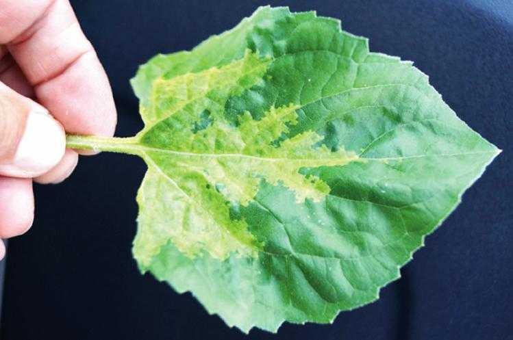 Рис. 11. Верхняя поверхность листа растения, больного ложной мучнистой росой