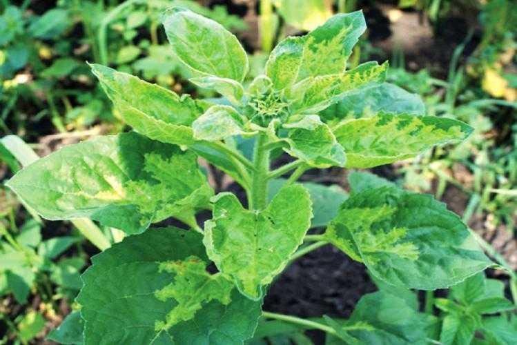 Рис. 13. Растение подсолнечника, пораженное ложной мучнистой росой, в фазе развития <b>ВВСН</b> 55. Обычно такие растения сильно отстают в росте и впоследствии не формируют урожай