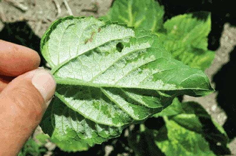 Рис. 4. На нижней поверхности листа образуется белый налет