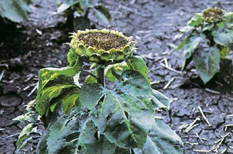 Рис. 5. Больные растения отстают в росте, корзинки прекращают поворачиваться за солнцем